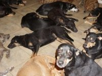 Kasırgadan korumak için 97 köpeğe evini açtı