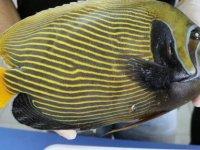 Türkiye sularında ilk kez rastlanan balığa Fenerbahçe ismi verildi