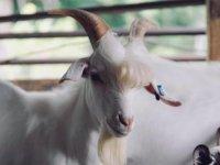 Hindistan'da fidan ekili alanda otlayan keçiler gözaltına alındı