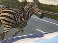 Esir tutulduğu sirkten kaçan zebra vurularak öldürüldü