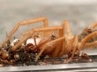 Et yiyen örümceği saklama kabında besliyor: 'Adı Hüsamettin