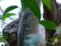 Avustralya'da orman yangınları: 'Yüzlerce koala ölmüş olabilir'