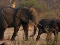Zimbabve'de kuraklık: 2 ayda 200'den fazla fil öldü