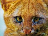 'Kedi yavrusu' diye eve alıp beslediği hayvanlar puma çıktı