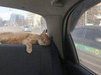 Ukrayna'nın en popüler taksisi: Şoförün muavini kedi Tea