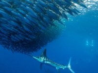 Artan sıcaklıklar nedeniyle okyanuslardaki oksijen tükeniyor