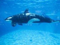 Büyükanne etkisi 'katil balinalar' için de geçerliymiş!