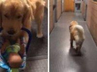 Oyuncak 'hırsızı' terapi köpeği Ben Franklin!