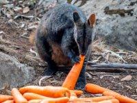 Avustralya'da yangın yüzünden aç kalan yaban hayvanlarına havadan patates-havuç yardımı
