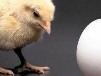 Tavuk Mu Yumurtadan, Yumurta Mı Tavuktan Çıkar?