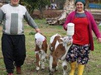 Sevgililer Günü'nde tektaşı reddetti, buzağıyı seçip çiftlik kurdu