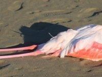 Larnaka'da kurşun zehirlenmesinden ölen flamingoların sayısı 77