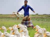Çin, Pakistan'da 100 bin ördek 'konuşlandıracak': Amaç çekirgelerle mücadele