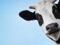 Hint politikacılardan Koronavirüs'e karşı 'inek idrarı' önerisi