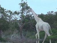 Kenya'da, dünyada nadir görülen 2 beyaz zürafa avcılar tarafından katledildi!