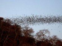 Peru, koronavirüsü yaymakla suçlanan yarasaları kurtarmak için harekete geçti