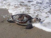 Kuşadası'nda 1 ayda 8 deniz kaplumbağası ölü bulundu
