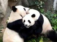10 yıldır çiftleşmeyen pandalar, 'corona' nedeniyle hayvanat bahçesi kapanınca çiftleşti