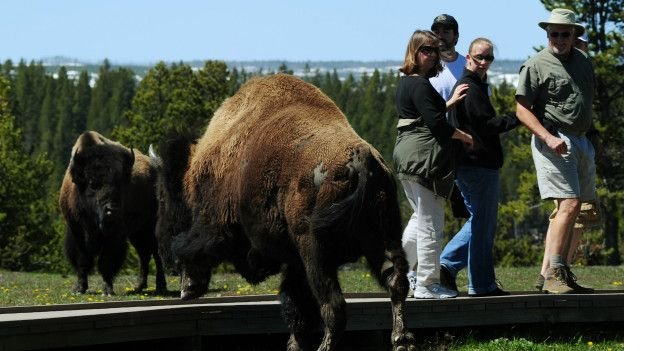 160503193029_yellowstone_buffalo_624x351_getty_nocredit.jpg