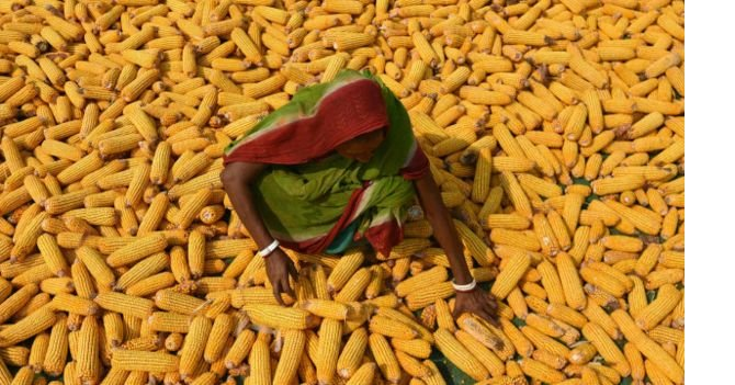160527173420_an_indian_farmer_spreads_maize_husks_to_dry_in_a_field_in_morigaon_district_some_70kms_east_of_guwahati__640x360_getty_nocredit.jpg