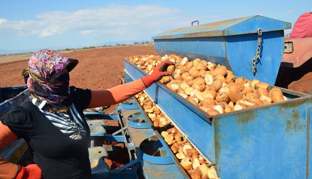 patates-(5).jpg
