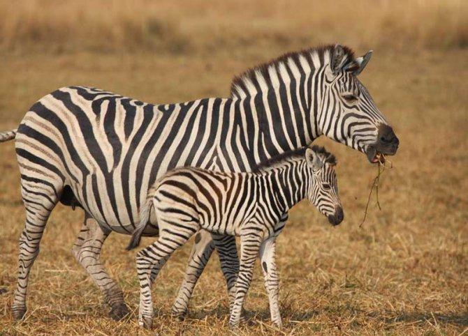 zebra-4.jpg