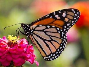 Kıbrıs'ı Kelebekler bastı, güzel görüntüler oluştu (Video)