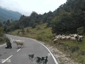 Ve sonunda oldu: İsyan eden koyunlar çobanı linç etti!